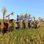 Kendalikan Wereng Dengan Buah Sirih Hutan, Petani Kedokanbunder Wetan Jadi Percontohan Nasional